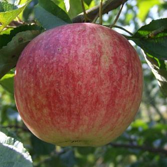 О яблоне слава победителям, описание, характеристики сорта, агротехника