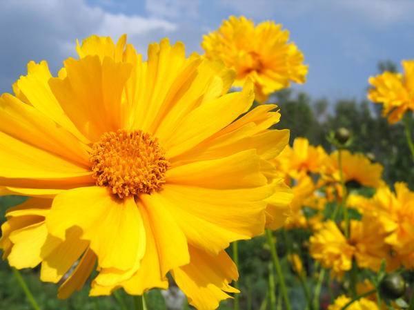 Цветок кореопсис: посадка и уход в открытом грунте, фото, выращивание из семян