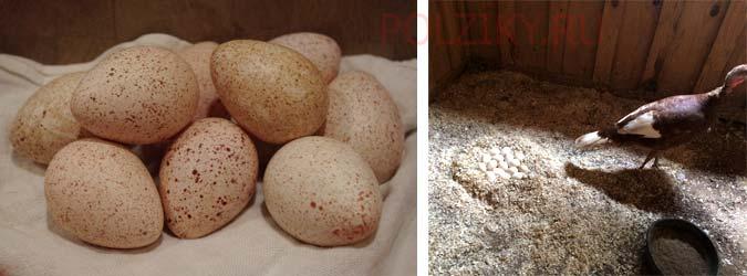 Как приучить индейку садиться на яйца - общая информация - 2020