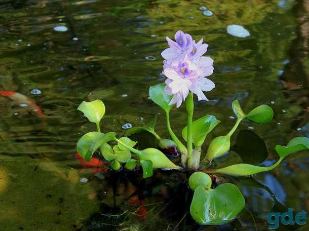 Водяная эйхорния или водный гиацинт: описание растения, посадка и уход в домашних условиях, полезные свойства