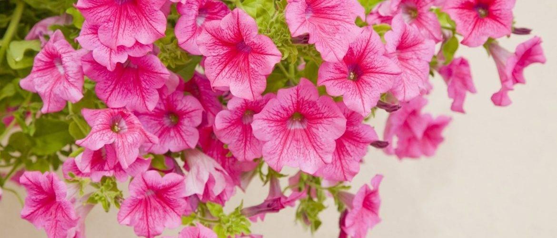 Ампельные цветы (90 фото): названия и описание цветов для кашпо (комнатных) и растений для сада. уход за свисающими цветами дома и на улице