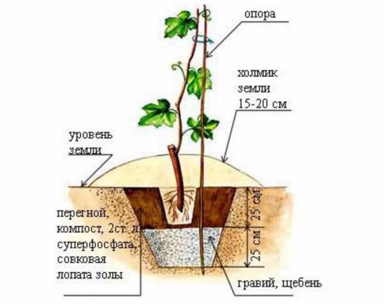 Как правильно посадить виноград весной саженцами: расстояние и почва при посадке