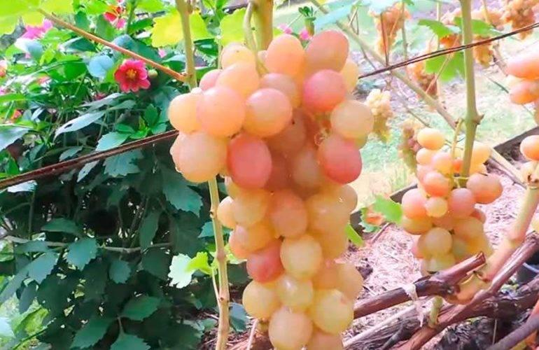 Виноград тасон: один из лучших мускатных сортов для приготовления элитного вина