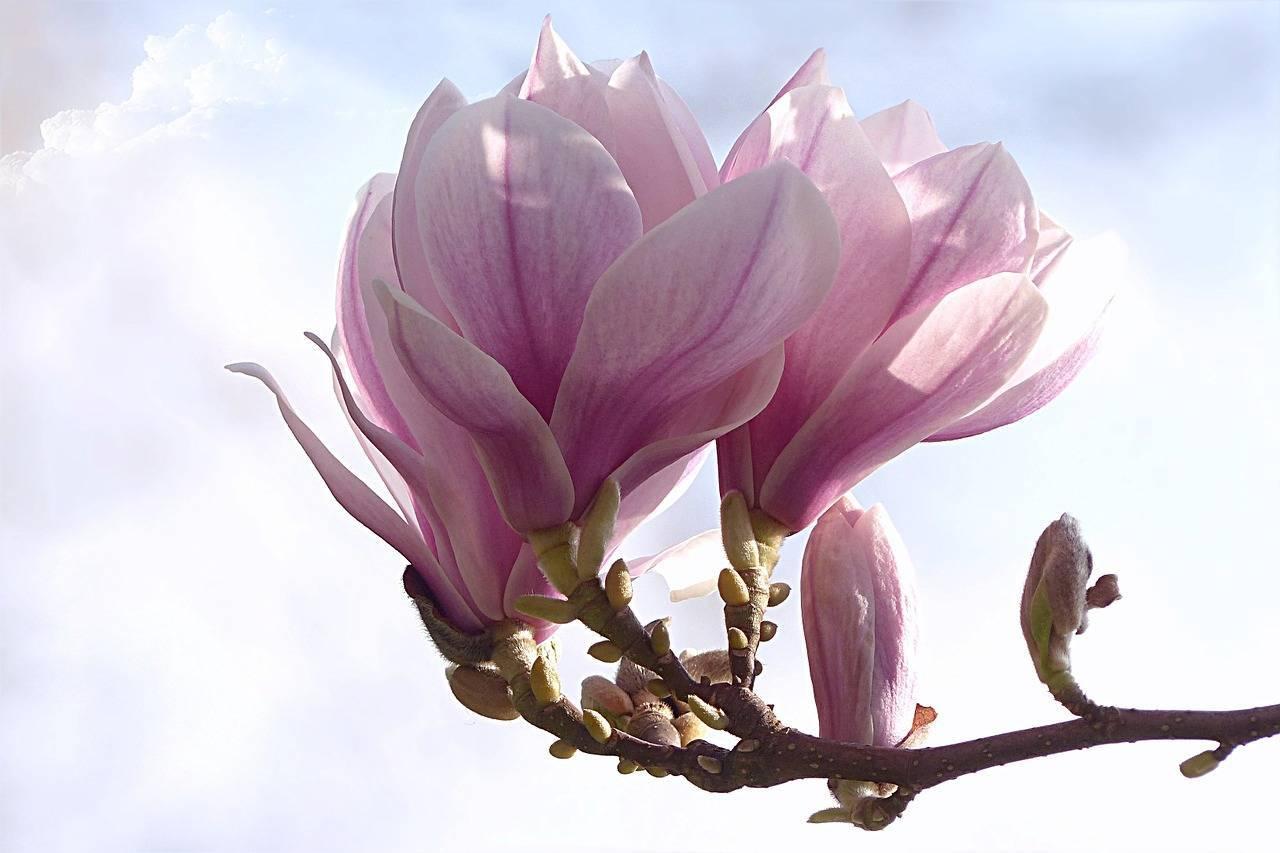 Магнолия цветок: описание, разновидности, выращивание