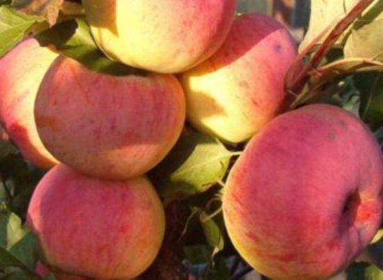 Сорт яблони услада: описание, характеристики, болезни и вредители