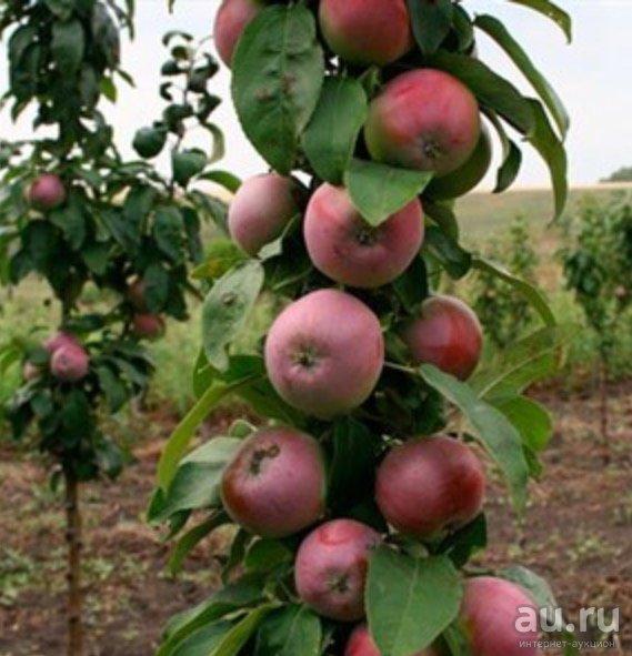 Яблоня колоновидная сорта васюган: особенности и характеристика, плюсы и минусы, агротехника выращивания, фото