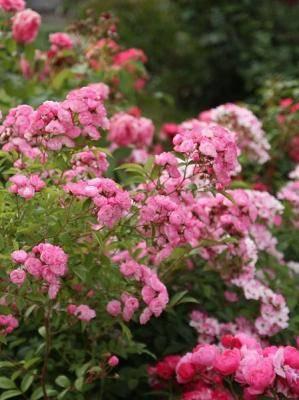 Роза хэвенли пинк (heavenly pink) — описание сорта