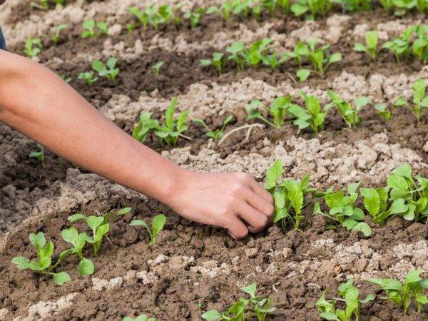 Пекинская капуста: выращивание и уход в открытом грунте и в теплице