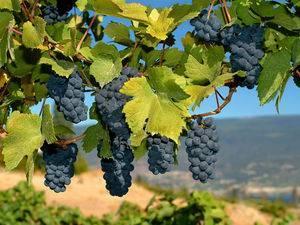 «амурский» виноград: фото и описание, агротехника выращивания