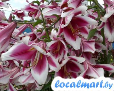 Лилия фризо — описание и уход, посадка и выращивание ?