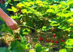 Почему нет ягод на клубнике: 5 причин отсутствия плодоношения