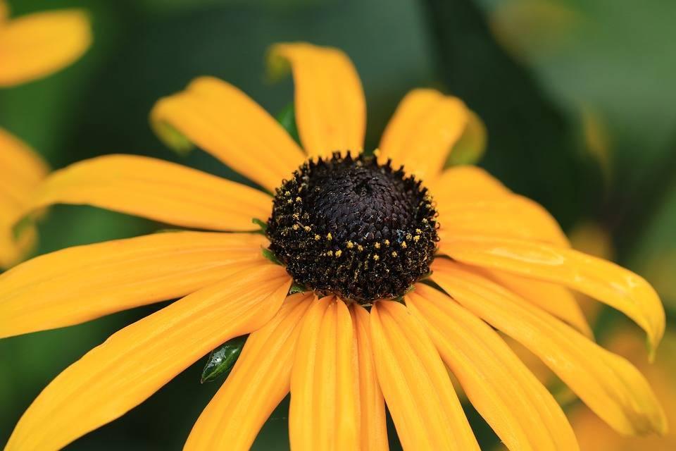 Рудбекия многолетняя - посадка и уход, простые хитрости роскошного цветника