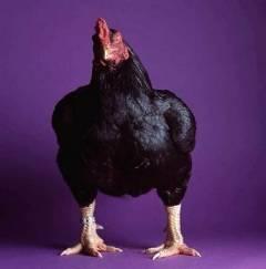 Хохлатая порода кур (31 фото): описание русских хохлатых и голландских белохохлых кур. чем кормить цыплят? отзывы владельцев