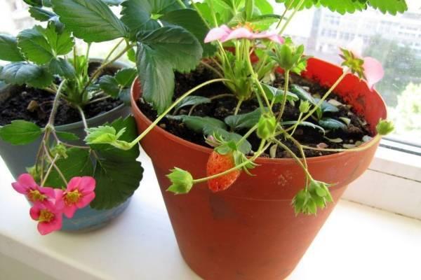 Как вырастить высокий урожай ампельной клубники «рикла»