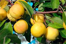 Яблоня уральское наливное - морозостойкое урожайное деревце