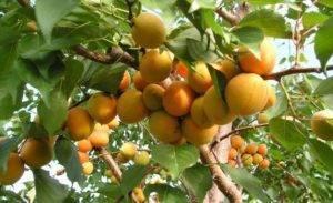 На какой год плодоносит абрикос после посадки: что делать, если дерево не цветет