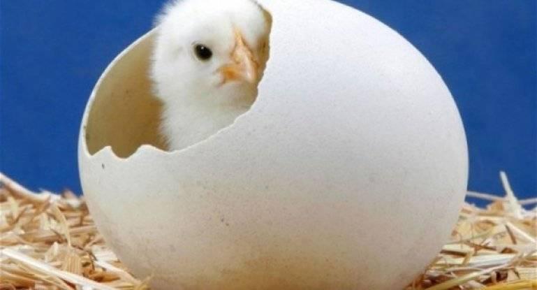 Можно ли помогать цыплятам вылупляться в инкубаторе? - общая информация - 2020