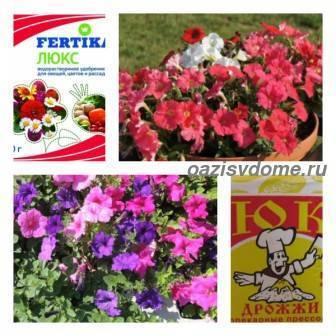 Чем поливать петунию для обильного цветения