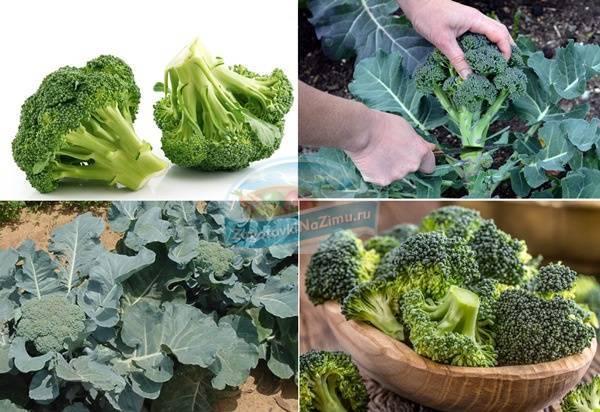 Брокколи - уход и выращивание в открытом грунте, подкормка и сроки созревания