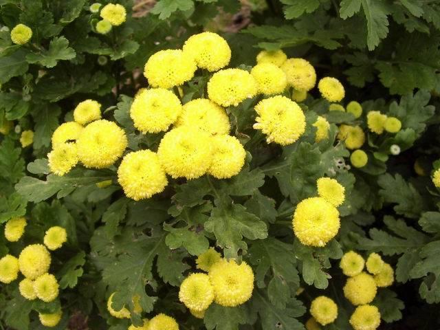 Когда и как сеть семена пиретрума на рассаду: выращивание и уход