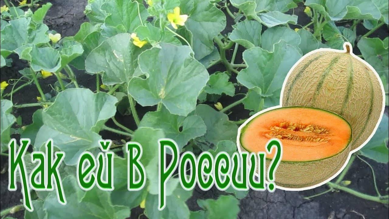 Как выращивать дыню канталупу: 15 шагов