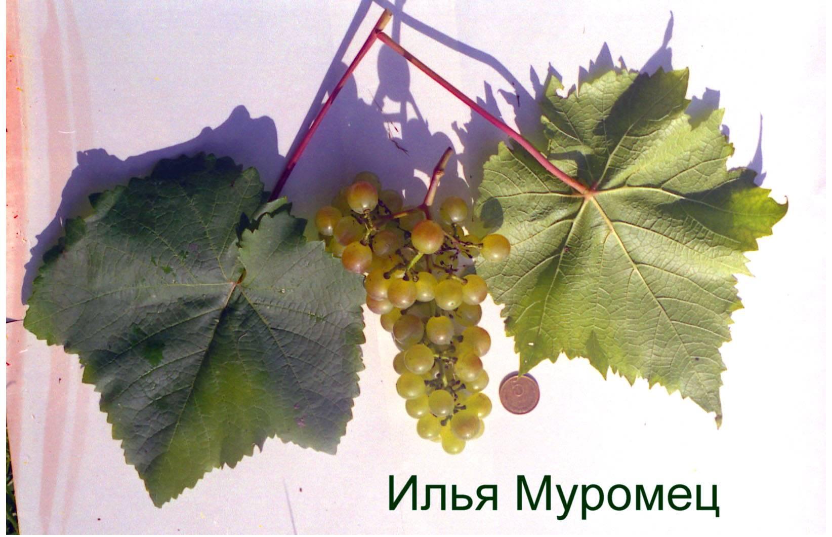 Виноград муромец: характеристика и описание сорта