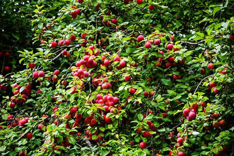 Лучшие сорта сливы для урала: топ-27 и их описание, посадка и уход, выращивание