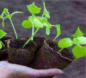 О чем нужно помнить, выращивая рассаду в торфяных горшочках