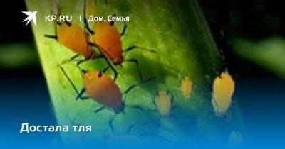 Как избавиться от тли и муравьев народными средствами