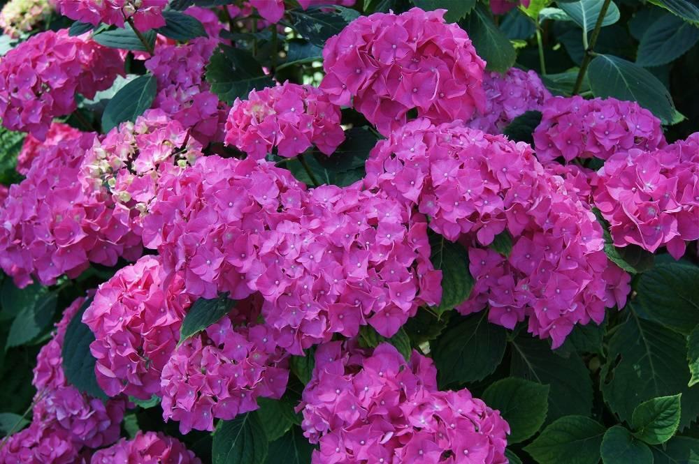 Как изменить цвет гортензии: превращаем розовый в голубой и обратно