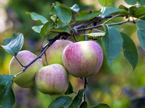 Описание сорта яблони коричное новое