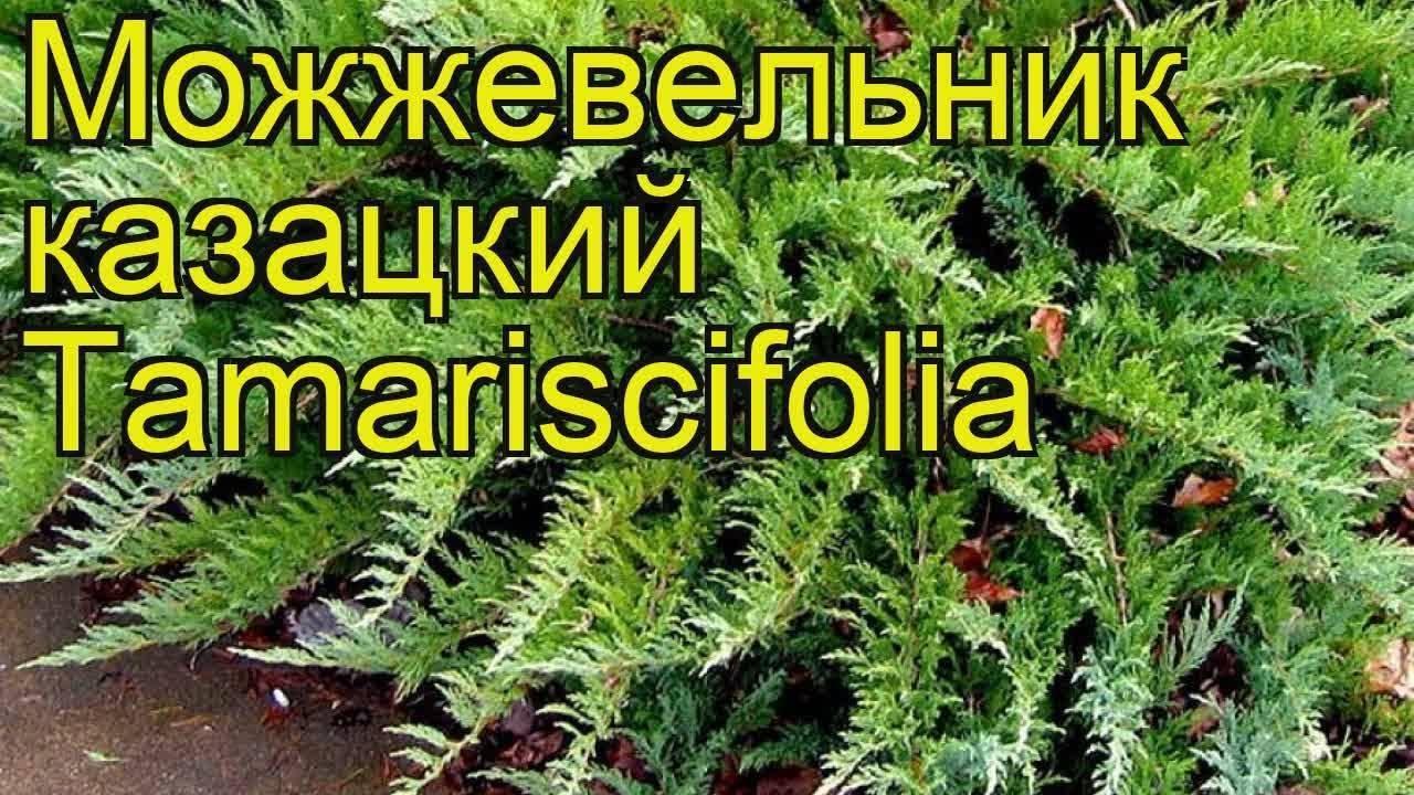 Можжевельник казацкий 'тамарисцифолиа', описание, фото, условия выращивания, уход