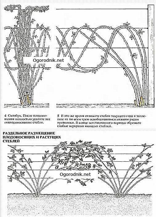 Как обрезать ежевику осенью: схемы формирования куста