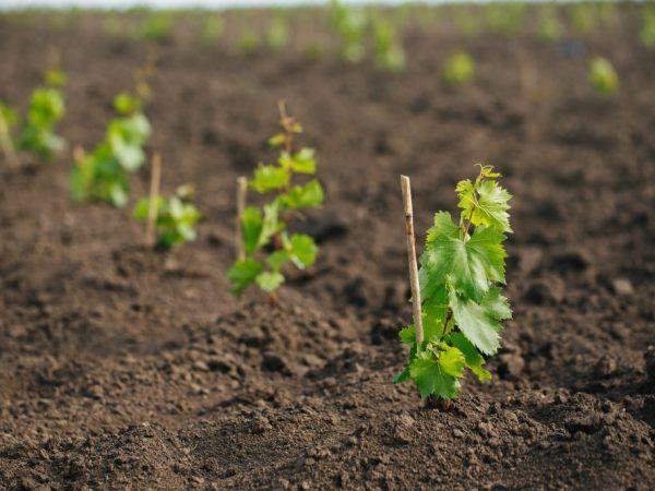Как вырастить виноград из косточки и на какой результат рассчитывать?