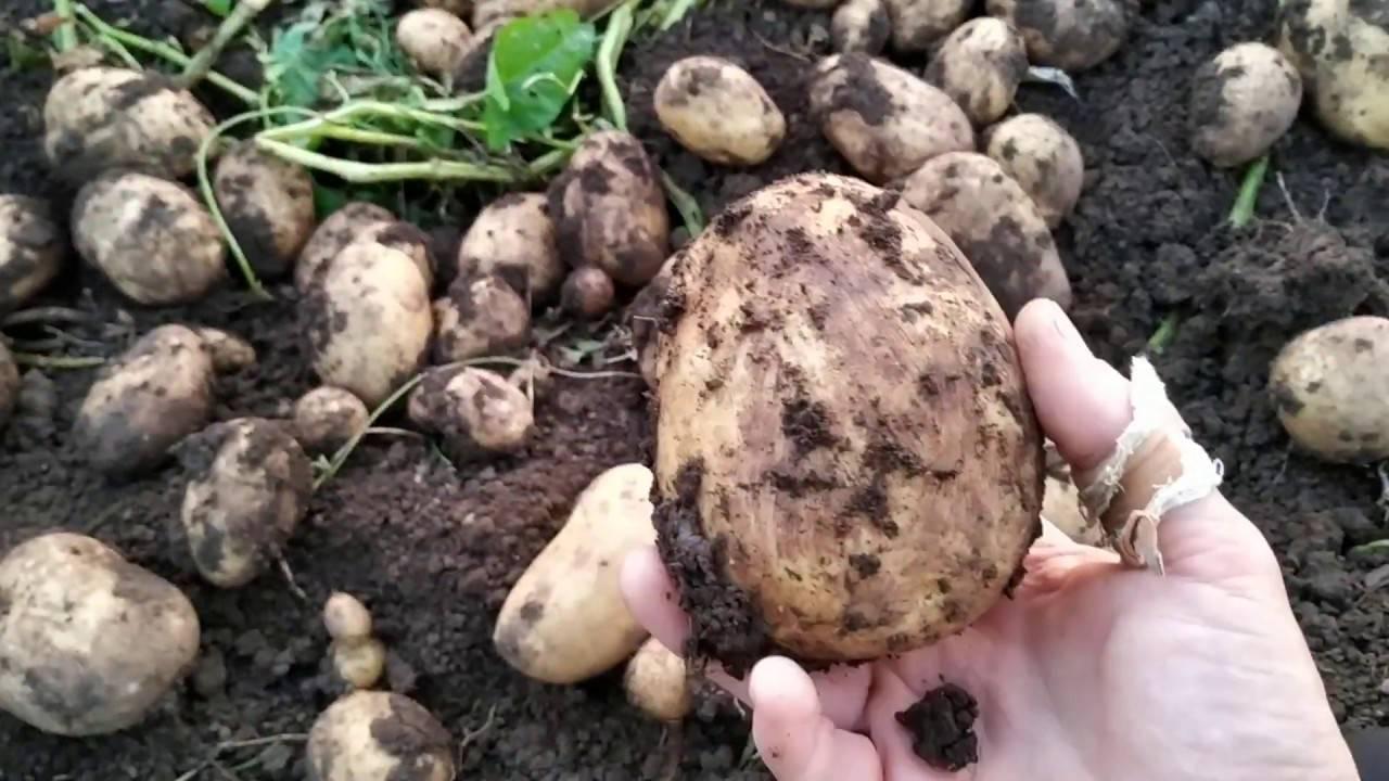 Картофель родриго: характеристика и описание сорта, отзывы
