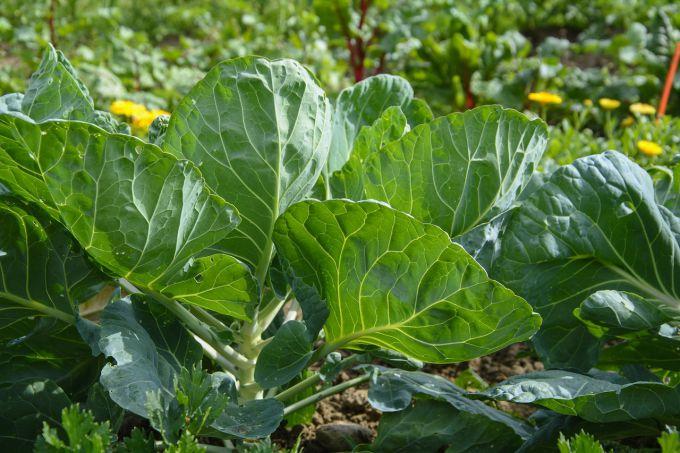 Как поливать капусту и чем. полив капусты в открытом грунте