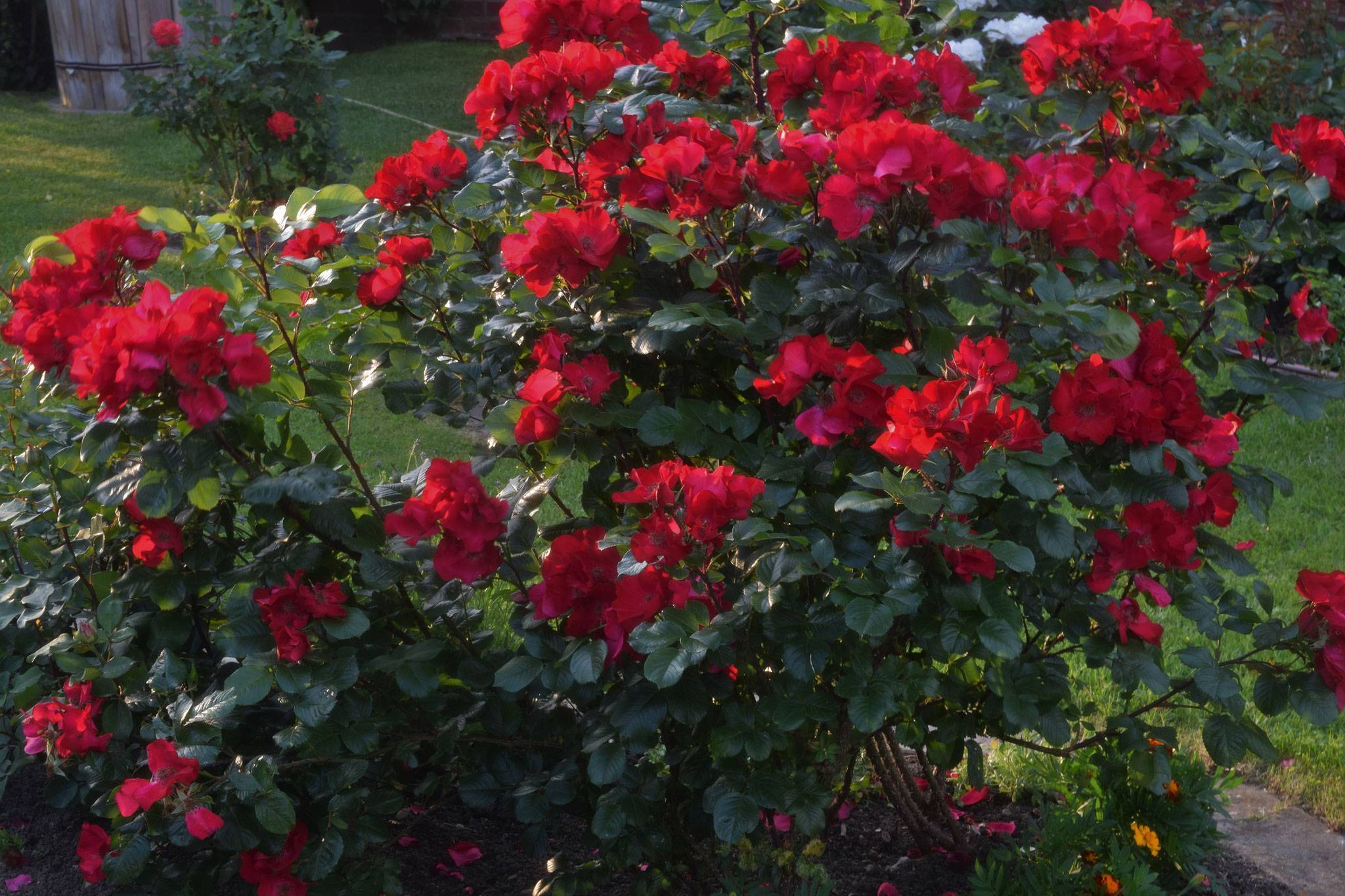 Rosa 'pink robusta' — википедия. что такое rosa 'pink robusta'