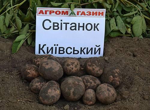 Картофель репанка: описание сорта, фото, характеристика популярного сорта