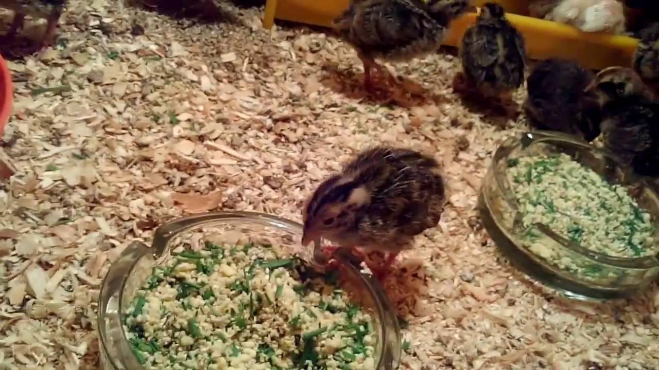 Как и чем нужно кормить перепелов в домашних условиях