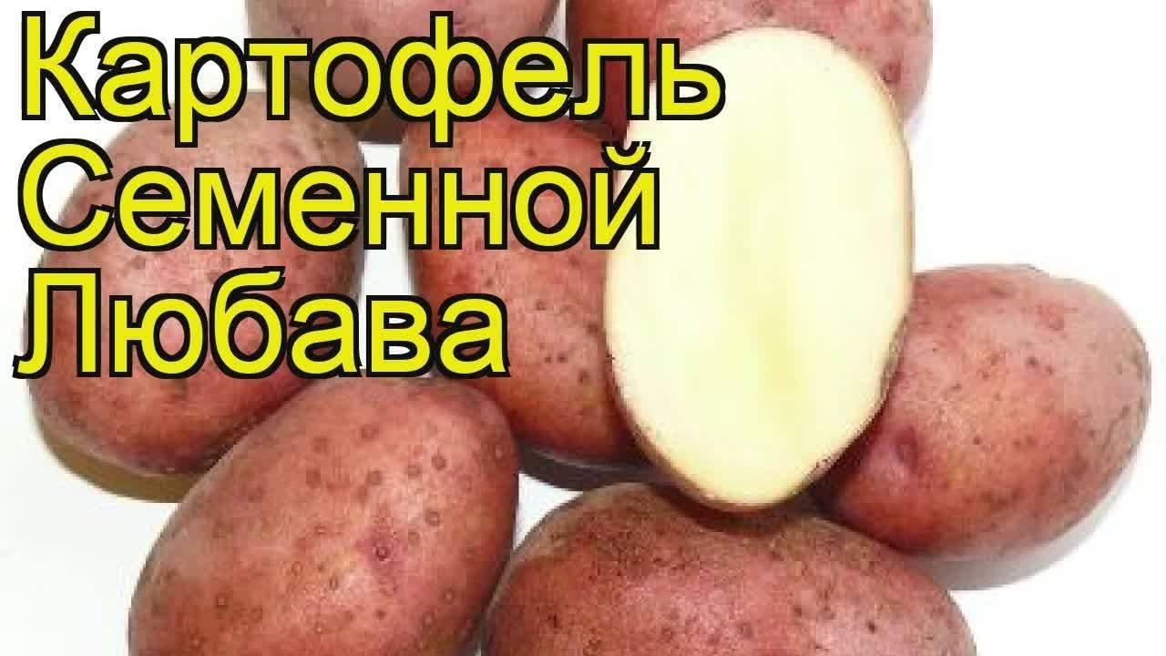 Картофель любава: розовый да ранний