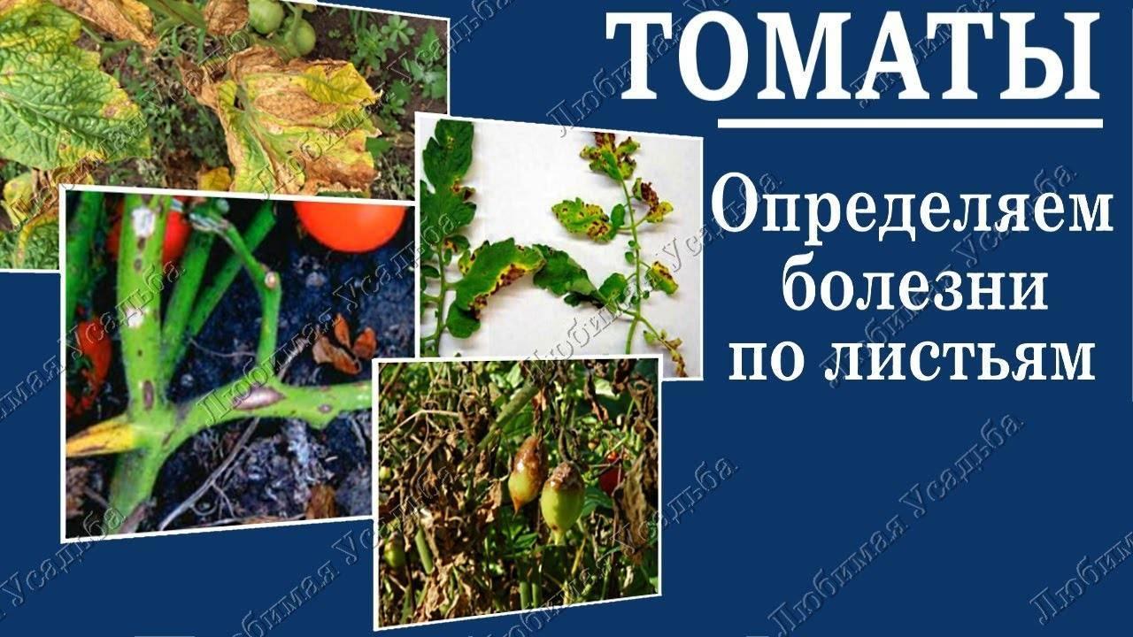 Фузариозное увядание томатов: профилактика и лечение