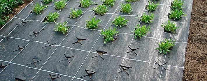 Посадка клубники под агроволокно осенью. как сажать клубнику на агроволокно