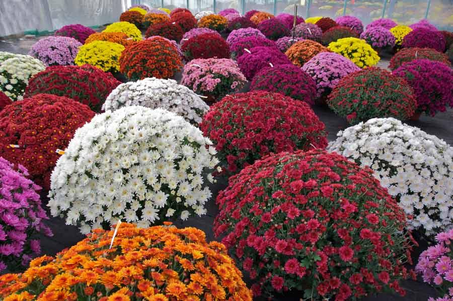 О хризантеме шаровидной: описание и характеристики, посадка и уход