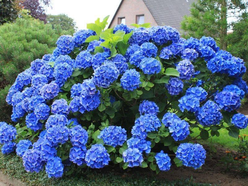 Садовая гортензия осенью: подготовка к зиме