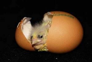 От чего умирают цыплята?