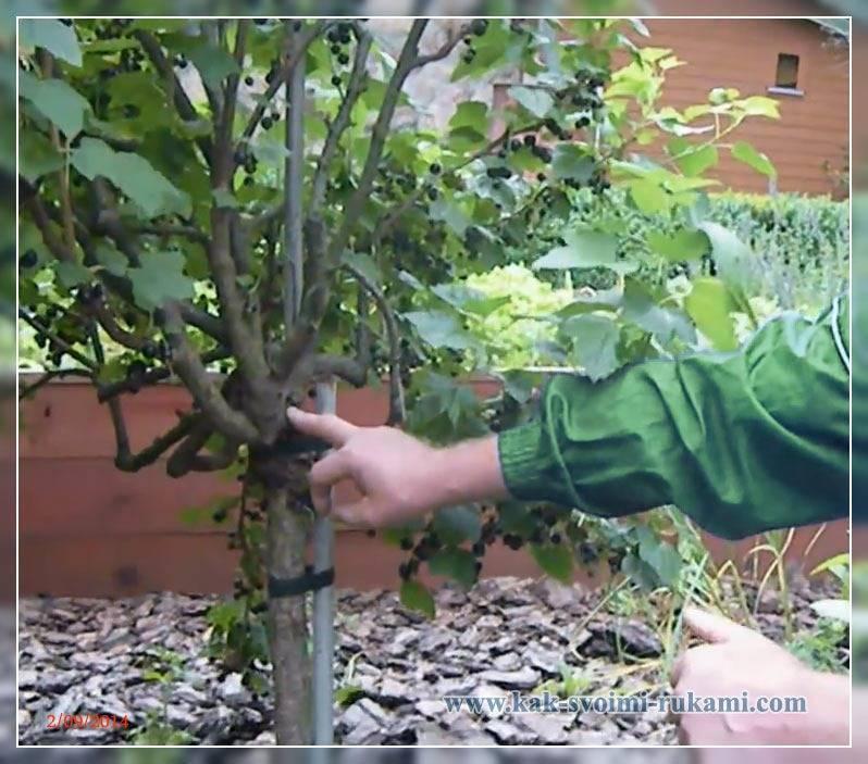 Когда созревает смородина — описание сортов, время посадки и этапы созревания. состав ягод и их свойства (70 фото)