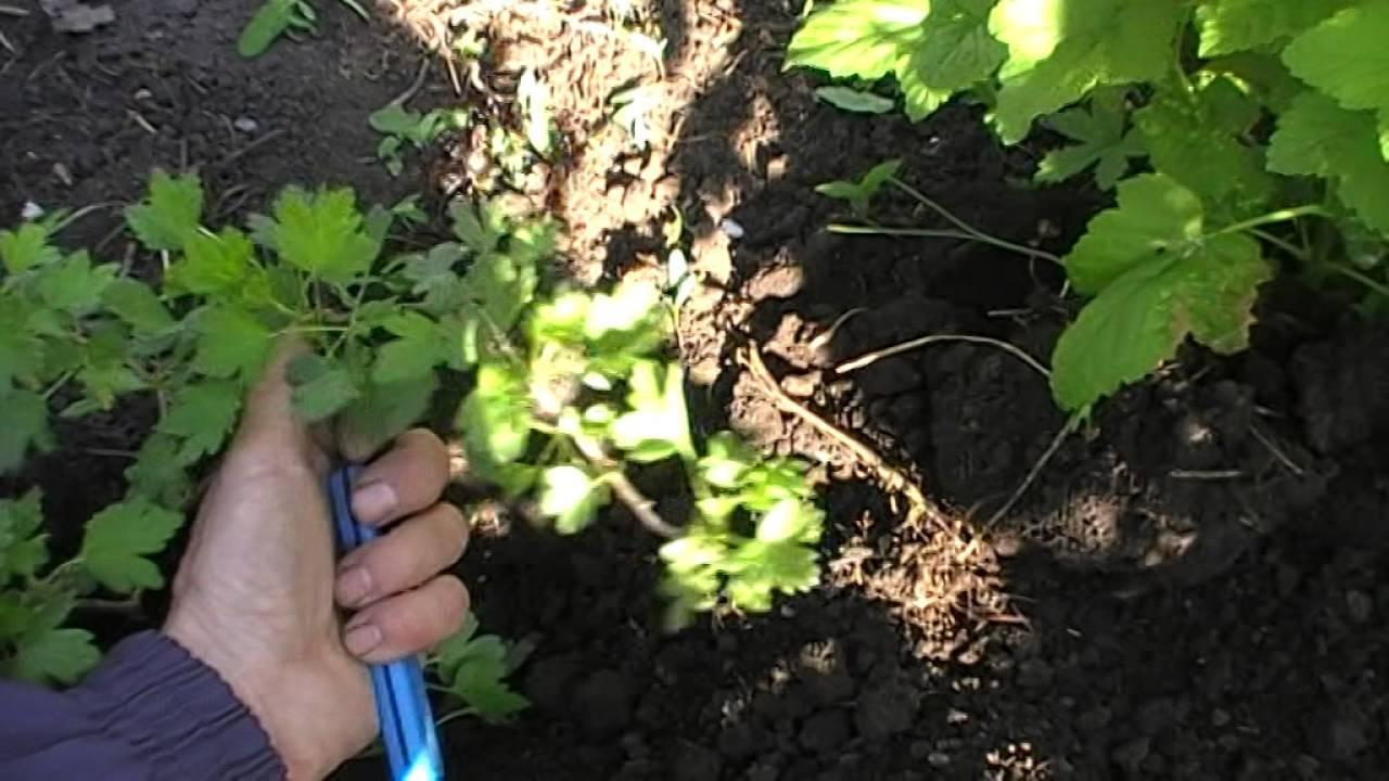 Как размножить крыжовник: полезные советы и способы размножения отводами или черенками весной, летом и осенью (95 фото + видео)