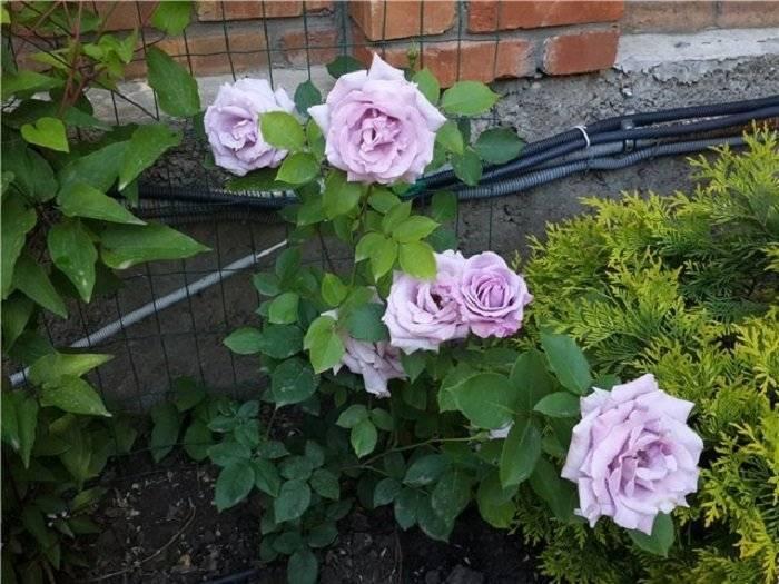О розе индиголетта (indigoletta): описание и характеристики плетистой розы