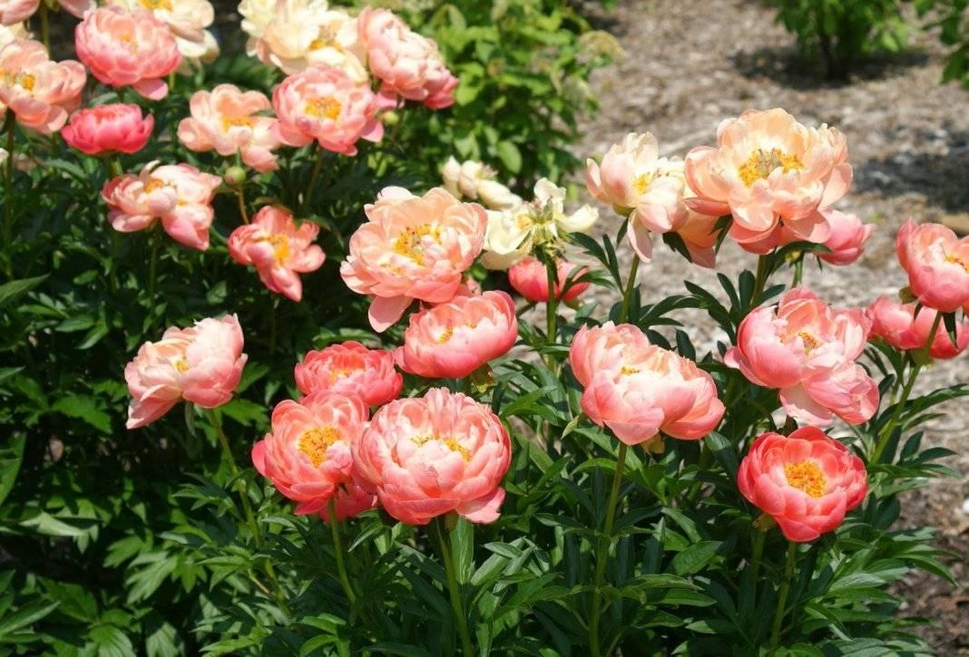 Древовидные пионы (64 фото): выращивание и уход, посадка в открытый грунт. чем отличается от травянистого пиона? сорта с названиями «красный гигант» и «кинко»