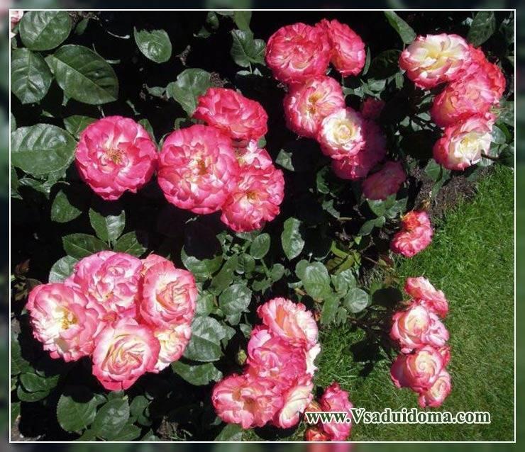 Розы: полив, обработка почвы, подкормки